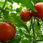 plan_tomate
