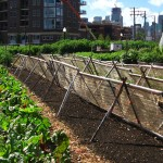 New_crops_urban_farm